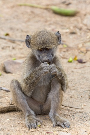 baboon: Young chacma baboon