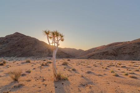 quiver: Sunrise through the quiver tree