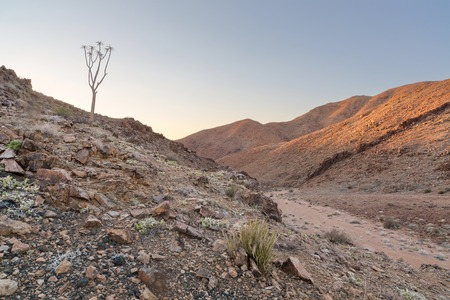quiver: Lone Quiver Tree next to dry river bed