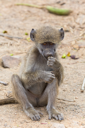baboon: Young baboon