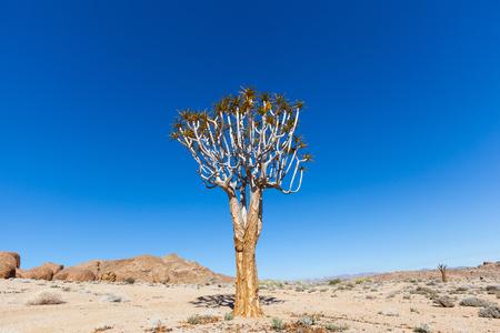 quiver: Lone Quiver Tree Stock Photo