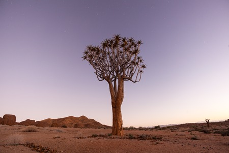 quiver: Quiver Tree at Blue Hour Stock Photo