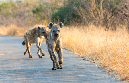 Hyenas run in the road
