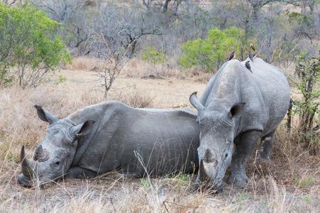White Rhinos resting