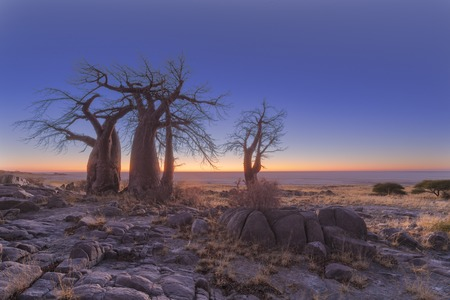 africa baobab tree: Baobabs in the early morning light