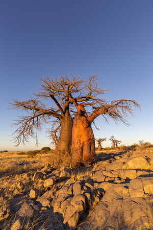 africa baobab tree: Baobab Trees in golden morning light Stock Photo