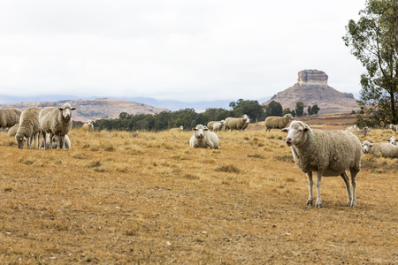 Sheep resting in the veld Stock Photo