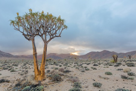 Quiver Tree in Richtersveld Stock Photo
