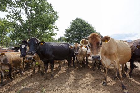 curiously: Cows looking curiously