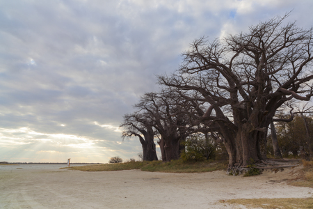 Baines Baobab trees with clouds