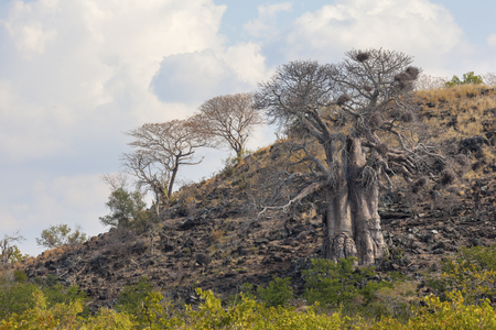 Baobab Tree and Clouds Stock Photo