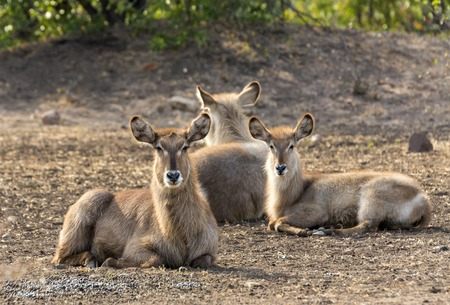 Waterbuck resting in Kruger NP Stock Photo