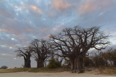 africa baobab tree: Colourful clouds and baobab trees