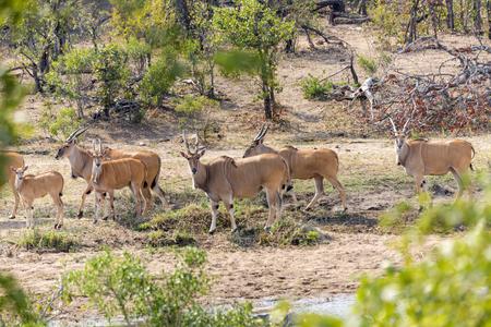 Eland in Kruger NP