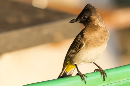 Dark-capped Bulbul close up Stock Photo