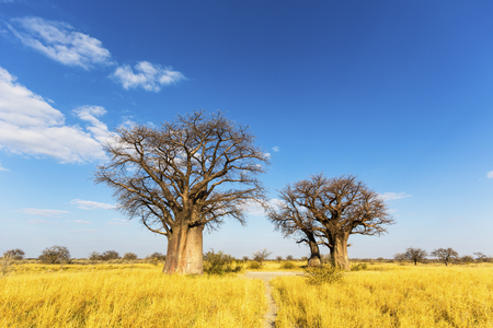Baobab trees in winter Stock Photo