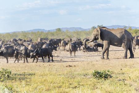 African elephant and bufalos