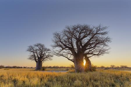 Sun starburst at sunrise in baobab tree Stock Photo