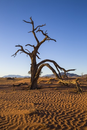 Large dead camel thorn tree in the sand