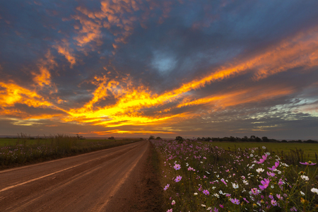 Fire in the sky and cosmos flowers next to the dirt road
