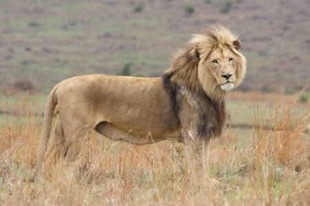 Large black mane male lion standing on the savannah