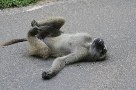 Baboon relaxing on the warm road surface