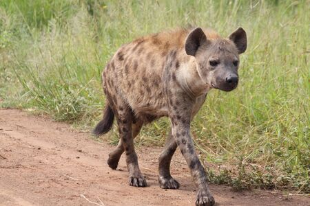 Spotted hyena walking in the road Фото со стока