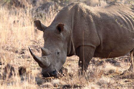 White rhino grazing on dry grass