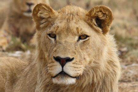 Portrait of young lion looking straight into the lens
