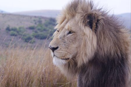 Portrait of lone male lion