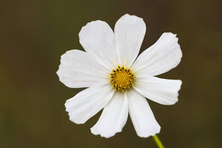 Single white cosmos flower against green background