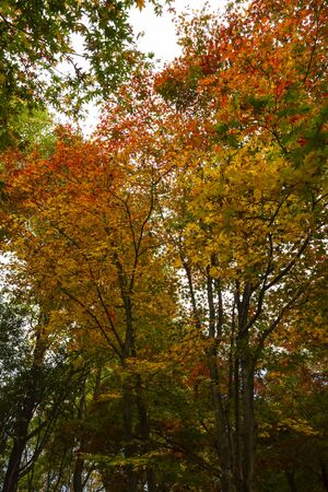 Yellow, orange and red autumn leaves in the trees Stock Photo