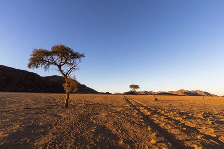 Tracks and dry camel thorn trees in the Namib Desert
