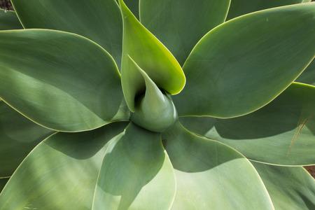 flora: Canary Iceland flora. green plant, blossom Stock Photo