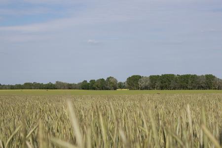 wheatfield: wheatfield crop Rye Stock Photo