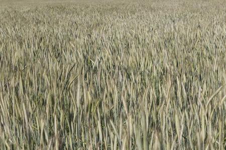 wheatfield: wheatfield background