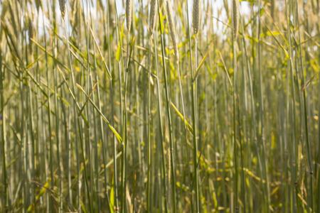 wheatfield: wheatfield background macro