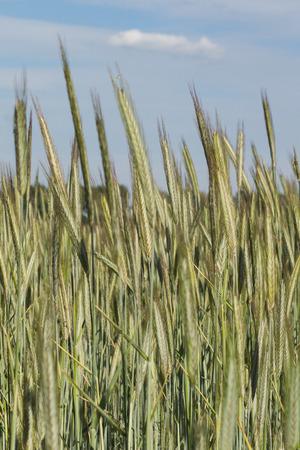 wheatfield: greenyellow wheatfield spring