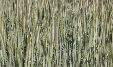 wheatfield: wheatfield crop macro background Stock Photo