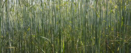 wheatfield: Greenfield Fresh crop wheatfield macro