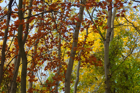 yellow trees: autumn forest, fall season, red leaves, yellow trees, nature background