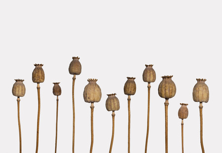 poppy flowers: dried poppy heads isolated on white background - poppy stems