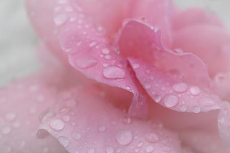 rosas rosadas: gotas de roc�o en los p�talos de rosa rosa macro Foto de archivo