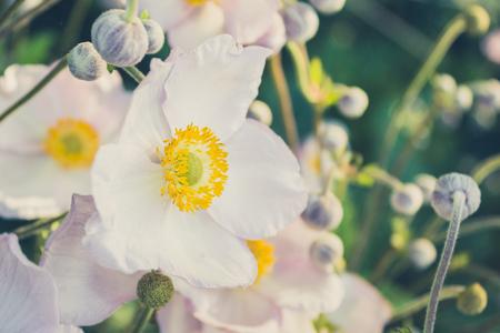 vintage look: white anemone flower in meadow - vintage look filter