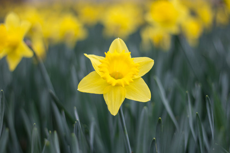 copys pace: blooming yellow narcissus, jonquil flower standing out of daffodil flowerbed Stock Photo