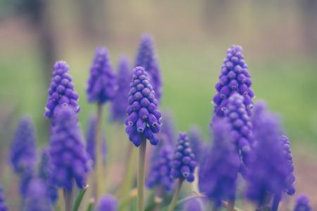 Muscari 푸른 꽃 매크로, 봄 꽃 초원
