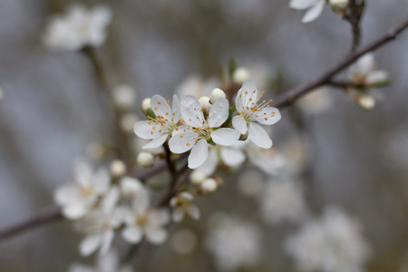 selective: white cherry tree blossom flower - selective focus