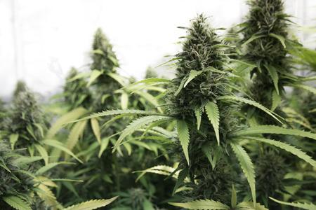 medical marihuana, cannabis flower buds Banque d'images
