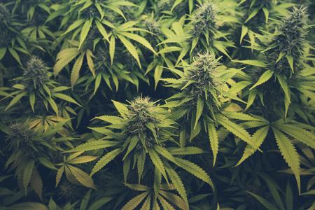 芽大麻/マリファナの植物 写真素材 - 57232871