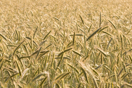 wheatfield: wheatfield, background - agriculture background Stock Photo